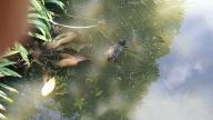 Tartaruga no lago do Jardim Japonês